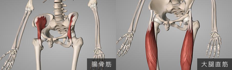 骨盤を前傾させる代表的な筋肉
