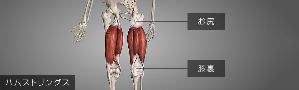 ハムストリングス・お尻と膝裏をつないでいる筋肉