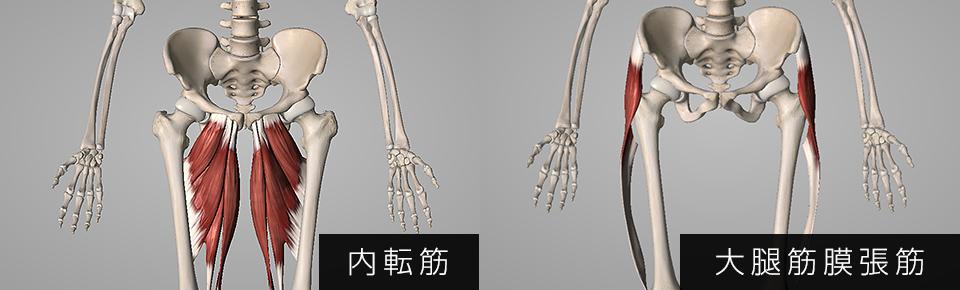 内転筋・大腿筋膜腸筋