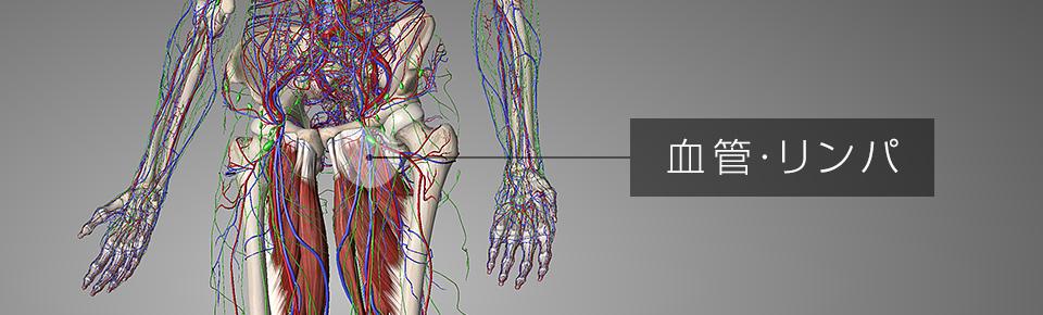 内転筋・股関節周りの血管リンパ