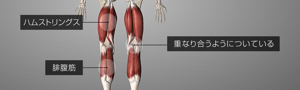 ハムストリングスと腓腹筋は重なり合うように膝裏についている