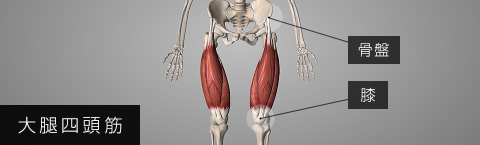 大腿四頭筋は骨盤の前側から膝についている