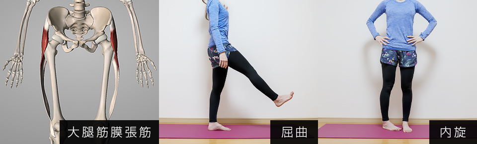 大腿筋膜腸筋の作用・股関節の屈曲・内旋