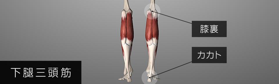 下腿三頭筋「膝裏からふくらはぎをとおりカカトにかけてついている」