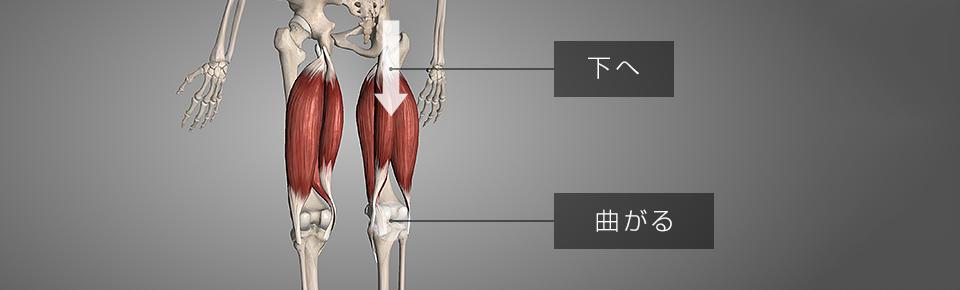 ハムストリングスが硬くなると脚が短く見える