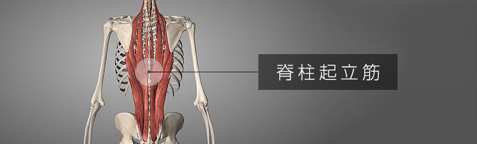脊柱起立筋 = せきちゅうきりつきん