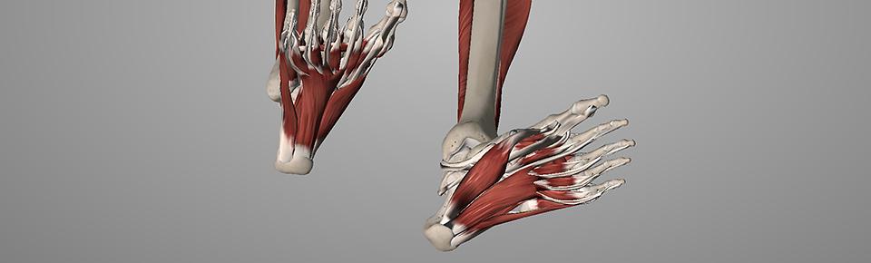 足指やかかと部分は筋肉があまりついていない