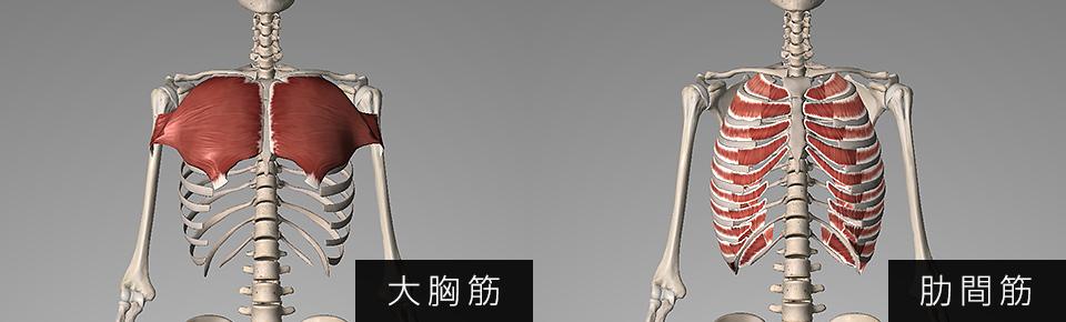 大胸筋・肋間筋