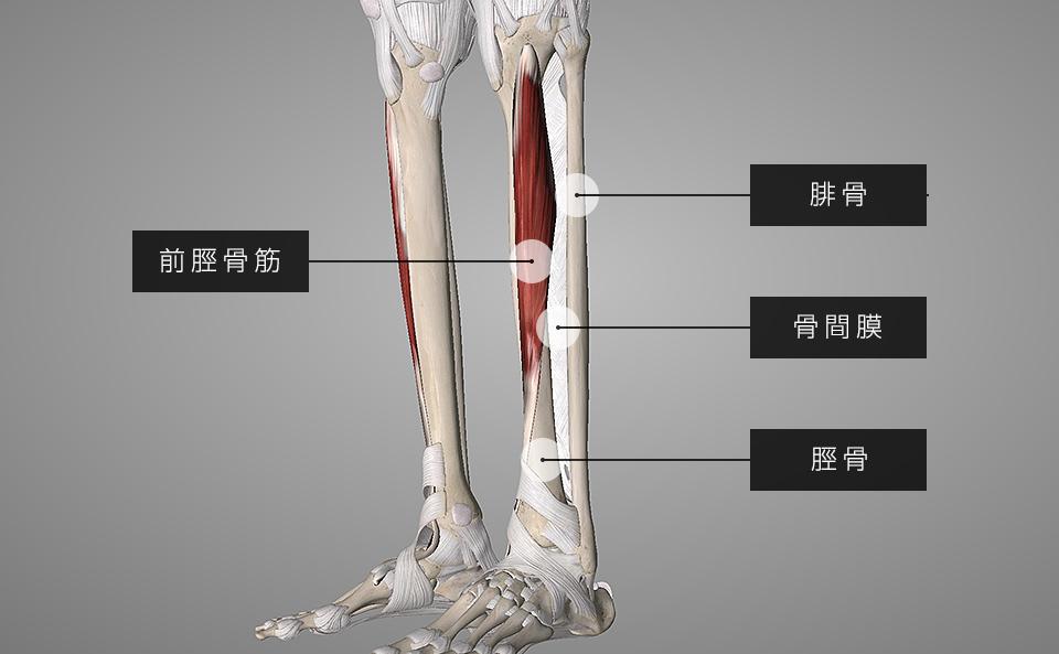 前脛骨筋・骨間膜・脛骨・腓骨