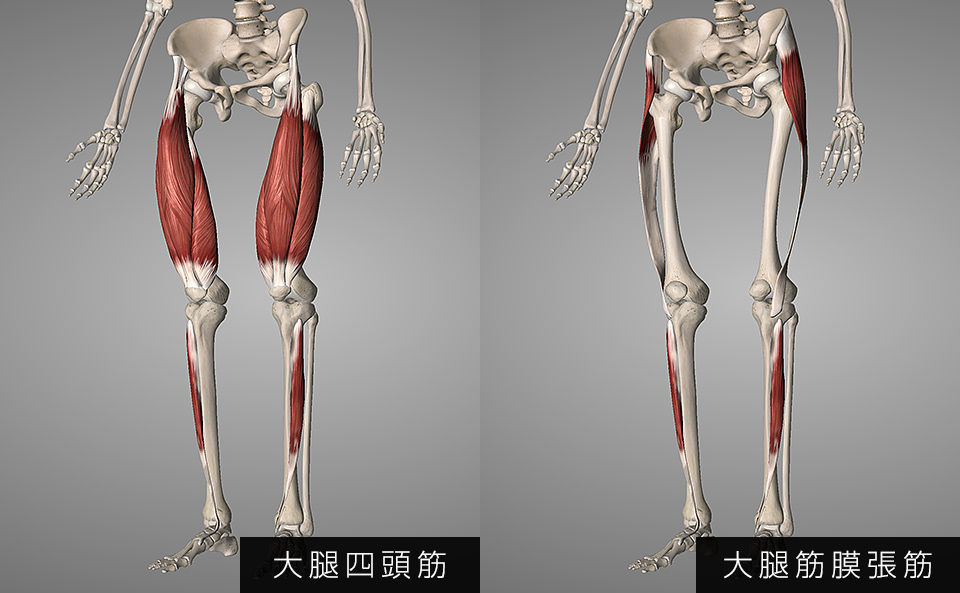 前脛骨筋・大腿四頭筋・大腿筋膜腸筋
