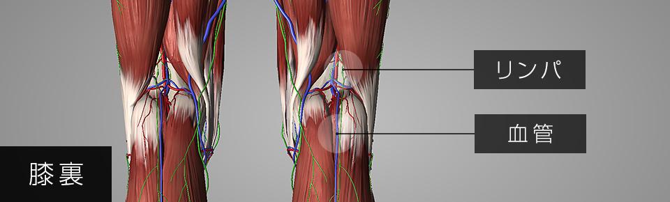 膝裏のリンパ管・血管