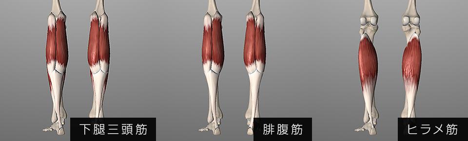 下腿三頭筋「腓腹筋・ヒラメ筋」