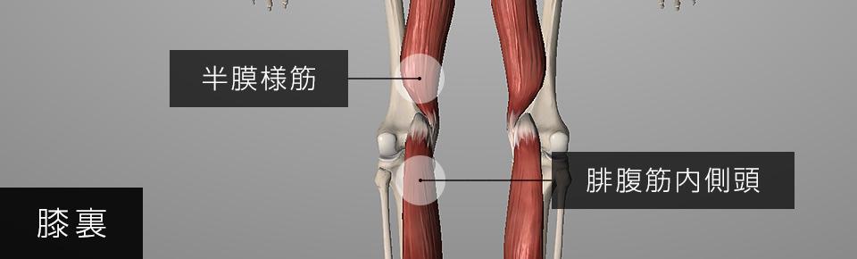 膝裏の内側の痛み = 腓腹筋内側頭と半膜様筋が硬くなる