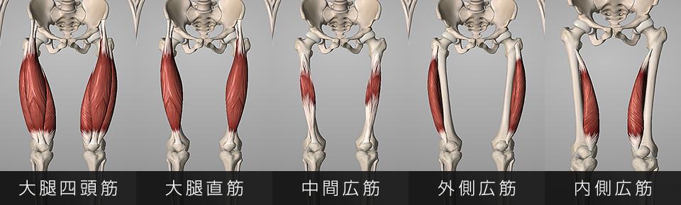 大腿四頭筋る4つの筋肉で構成されている