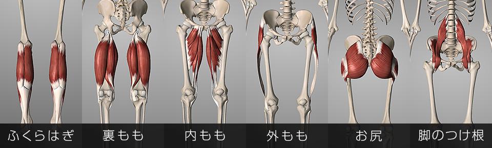 膝・股関節の動きに関わっている筋肉
