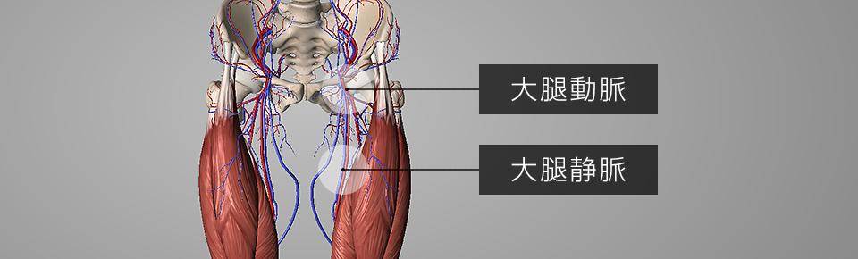 前もも周辺に「大腿動脈・大腿静脈」が通っている