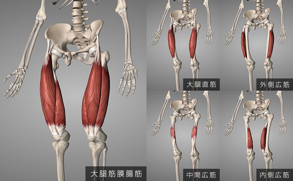 大腿四頭筋の筋肉構造