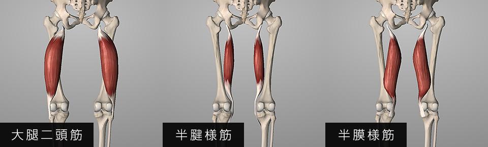 ハムストリングス「大腿二頭筋・半腱様筋・半膜様筋」