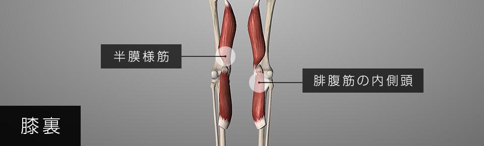 半膜様筋と腓腹筋の内側頭