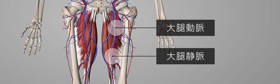 大腿動脈・大腿静脈