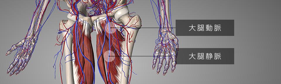 (浅・深)大腿動脈 = だいたいどうみゃく・大腿静脈 = だいたいじょうみゃく