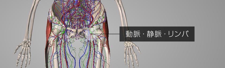 外ももの筋肉が硬くなり → O脚や反り腰になり → 股関節まわりにある動脈・静脈・リンパが圧迫される