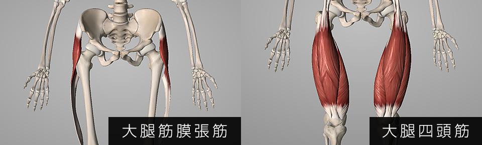 大腿筋膜張筋・大腿四頭筋