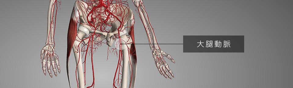 大腿筋膜腸筋が硬くなると大腿動脈を圧迫する