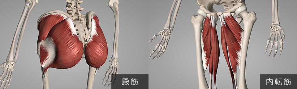 大腿筋膜腸筋は臀筋群や内転筋群と関係性が深い