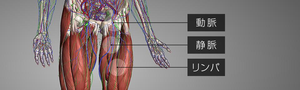 太ももを通っている動脈・静脈・リンパ