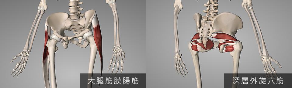 大腿筋膜腸筋・深層外旋六筋