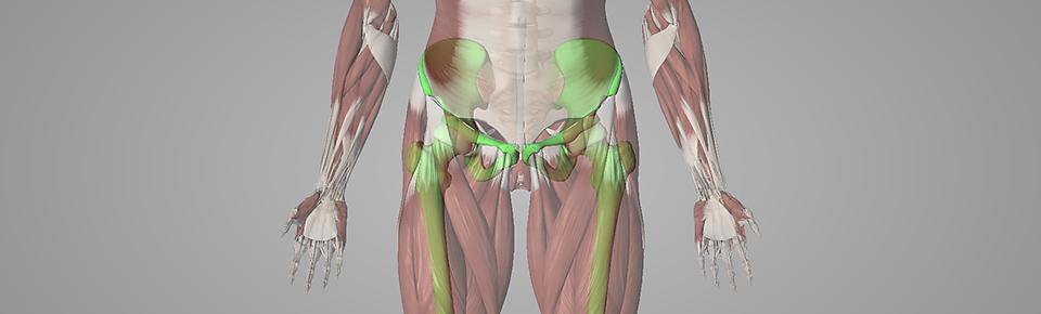 股関節まわりの筋肉が股関節に直接衝撃が加わらないように吸収している
