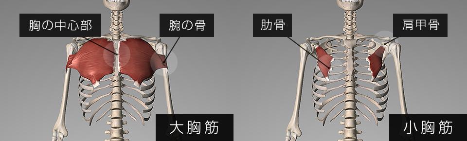大胸筋は胸と腕・小胸筋と肩甲骨についている