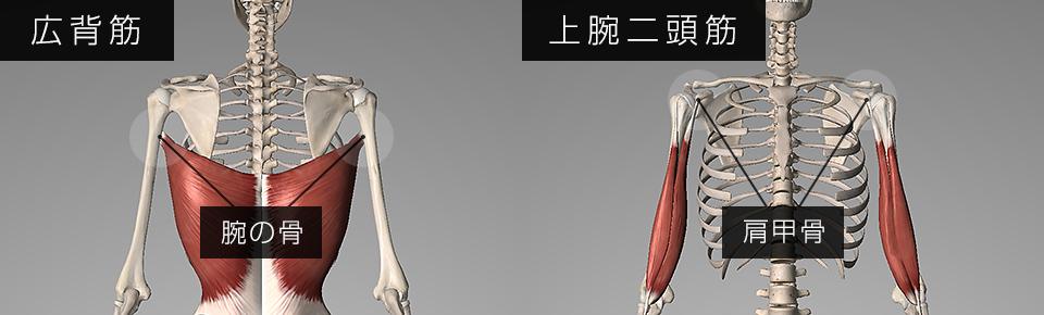 広背筋は腕の骨・上腕二頭筋は肩甲骨についている