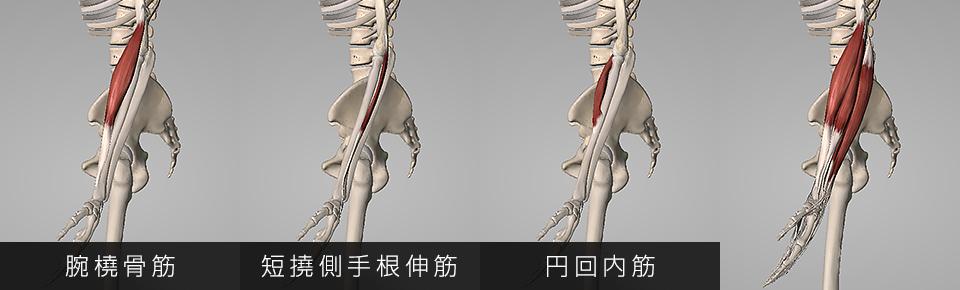 腕橈骨筋・短撓側手根伸筋・円回内筋