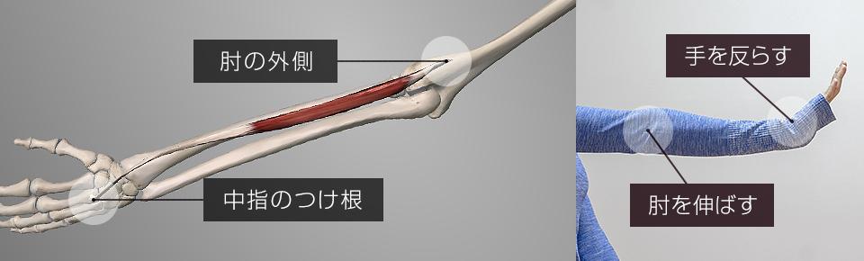 短撓側手根伸筋は肘を伸ばす・手首を反らせる働きを持っている