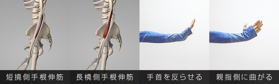 短撓側手根伸筋・長橈側手根伸筋・手首を反らせる・手首を親指側に曲げる