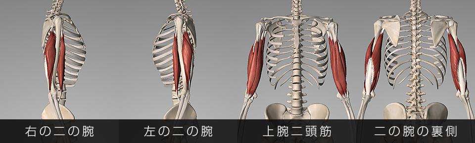 右の二の腕・左の二の腕・上腕二頭筋・上腕三頭筋