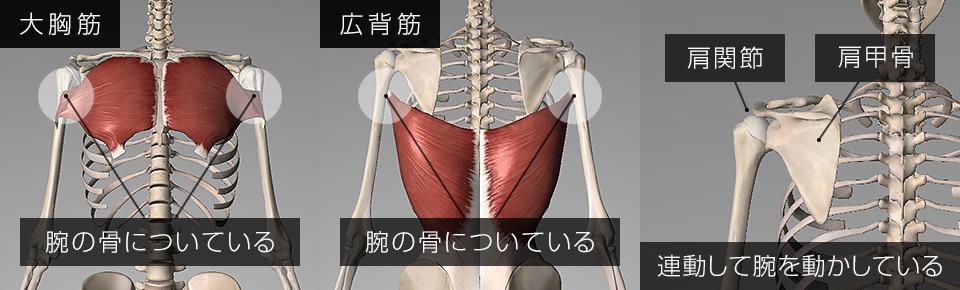 大胸筋・広背筋は腕の骨についている・肩甲骨と肩関節が連動して腕を動かしている