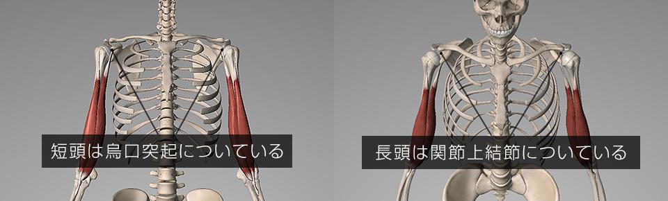 短頭は烏口突起・長頭は関節上結節についている