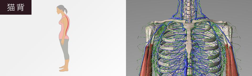 猫背・鎖骨から二の腕あたりを通っている静脈やリンパが圧迫されやすくなる