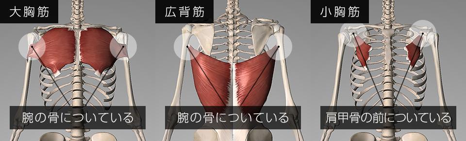 大胸筋や広背筋は腕の骨についており小胸筋は肩甲骨の前についている
