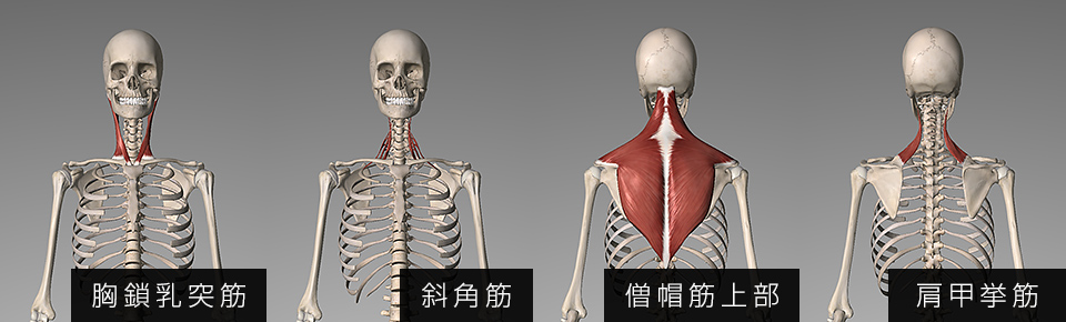 胸鎖乳突筋・斜角筋・僧帽筋上部・肩甲挙筋