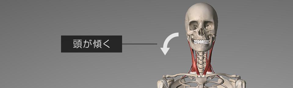 胸鎖乳突筋や斜角筋の片側だけが硬くなると頭が傾いてしまう