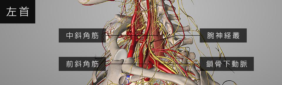 前斜角筋と中斜角筋の間に腕神経叢と鎖骨下動脈が通っている