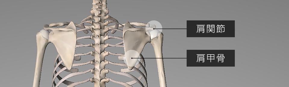 肩にある関節と肩甲骨が連動することで腕が動いている