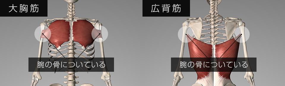 大胸筋・広背筋は腕の骨についている