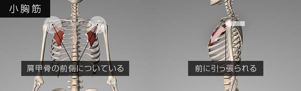 小胸筋が硬くなると肩甲骨が前に引っ張られる