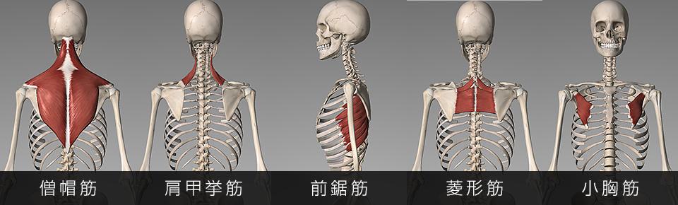肩甲骨の6つの作用に関わっている6つの筋肉