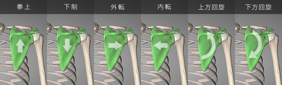 肩甲骨の6つの動き